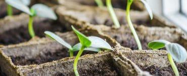 Gurkenpflanzen aus Samen ziehen