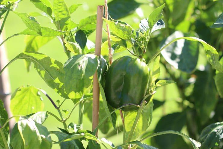 Paprika Mischkultur