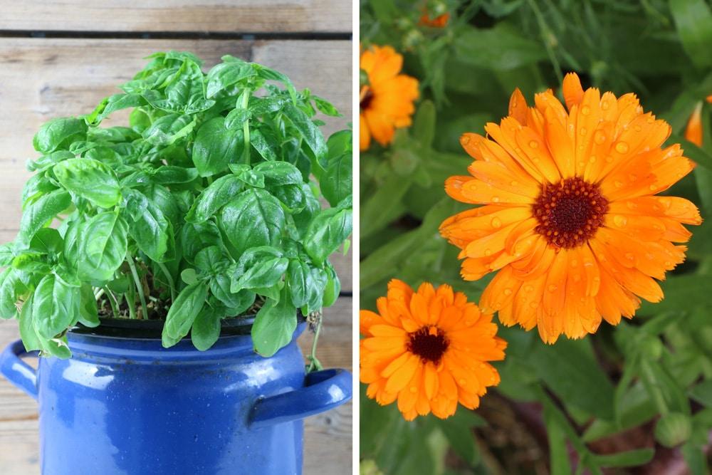 Schwachzehrer Basilikum und Ringelblumen