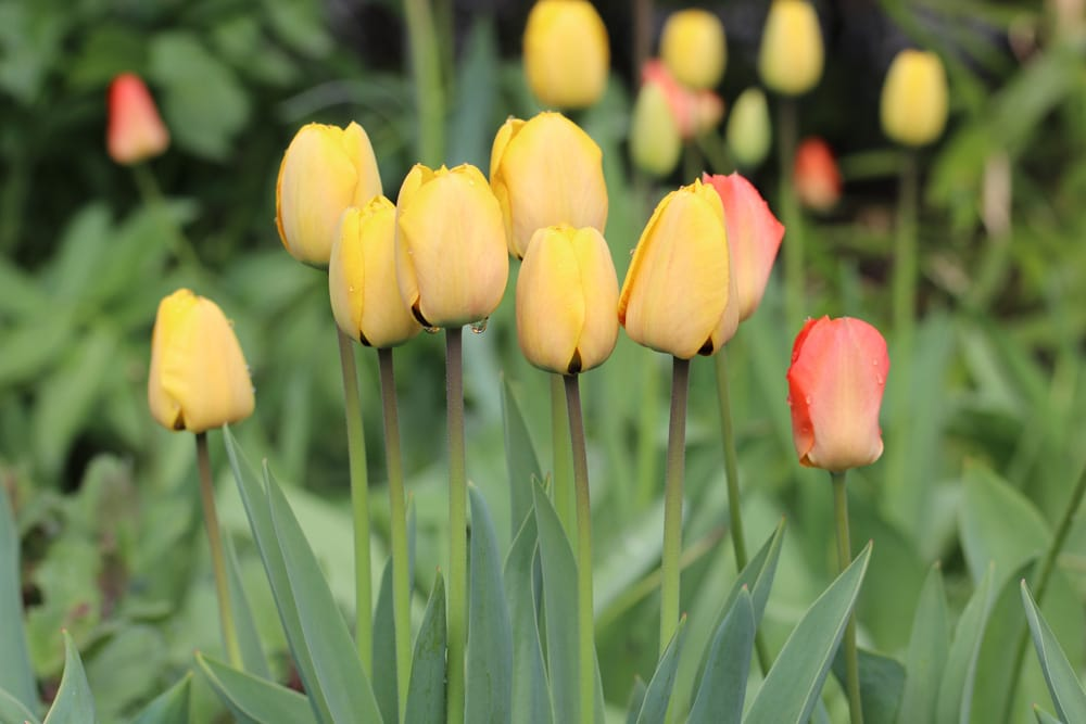 Starkzehrer Tulpen