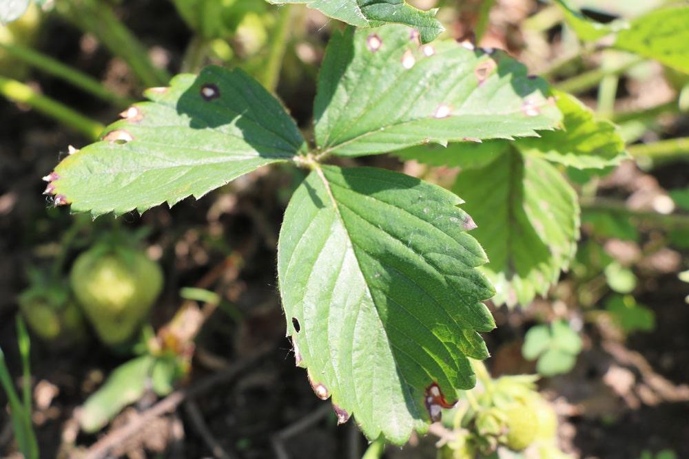 Berühmt Schädlinge an Erdbeeren: Würmer, Käfer & Co natürlich bekämpfen #KO_21