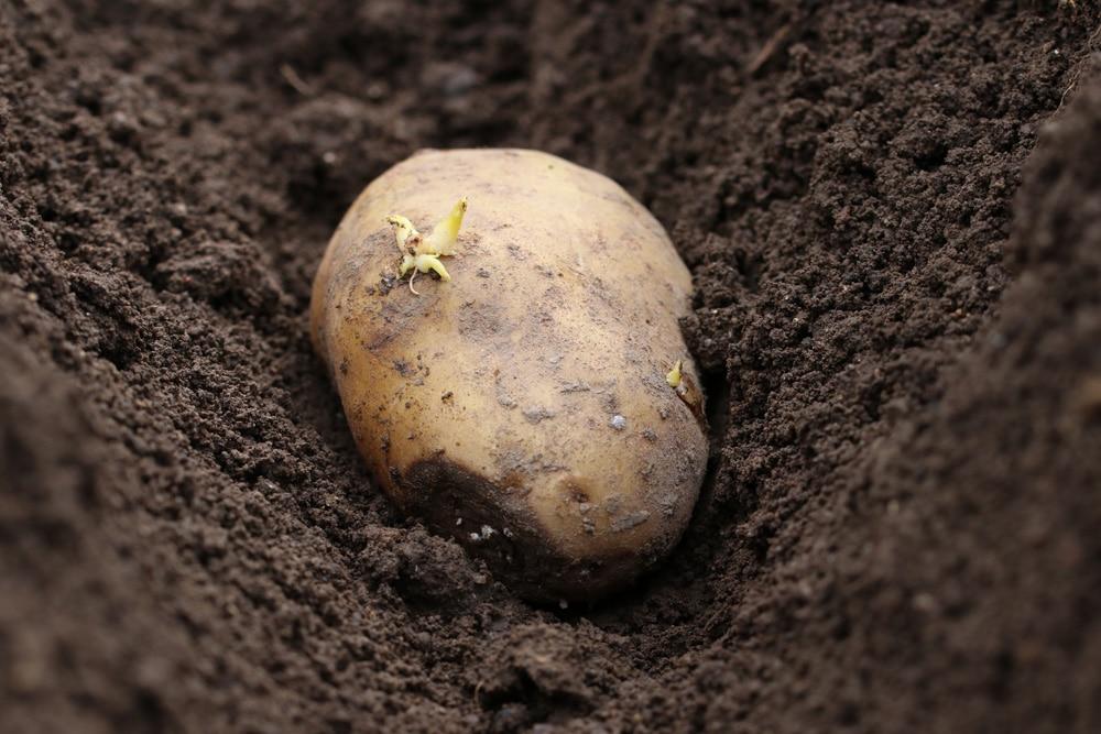 gekeimte Kartoffel einpflanzen