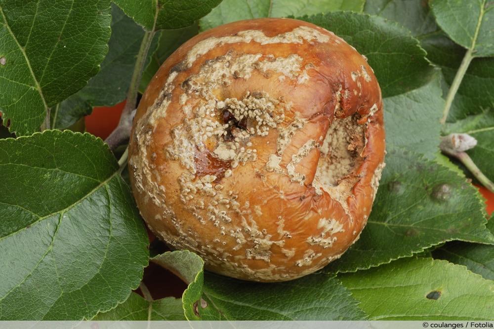 Monilia-Fruchtfäule Apfelbaum-Krankheiten
