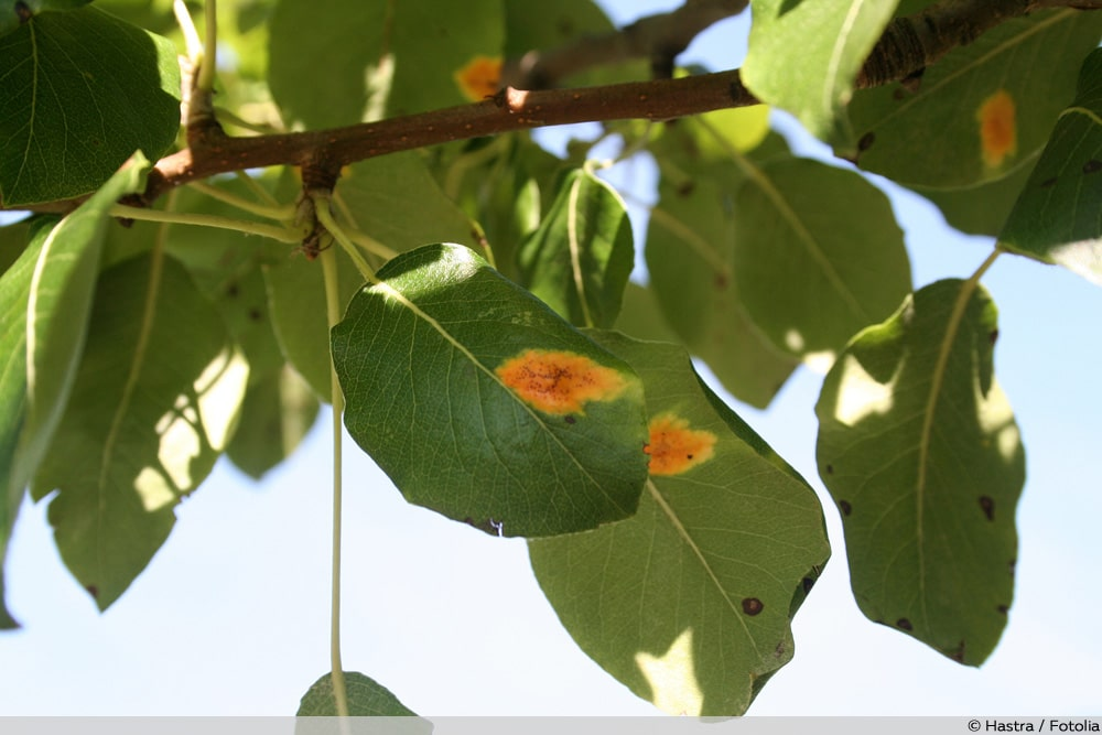 Birnengitterrost Obstbaumkrankheiten