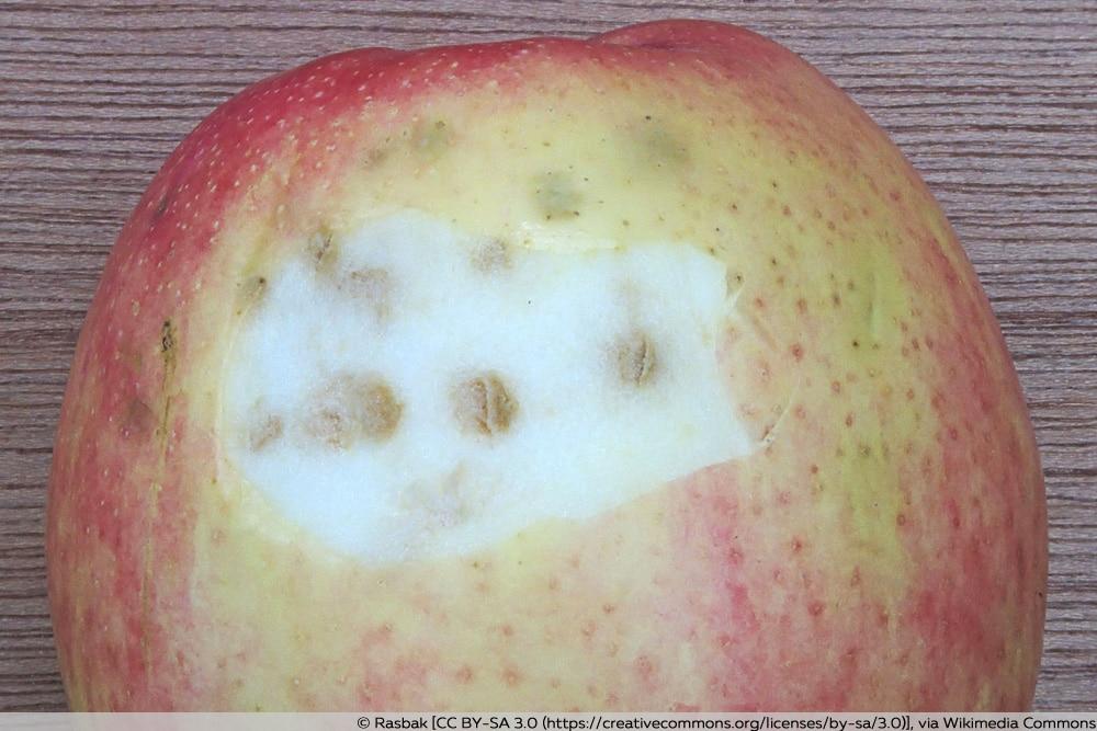 Stippigkeit Apfelbaum-Krankheiten