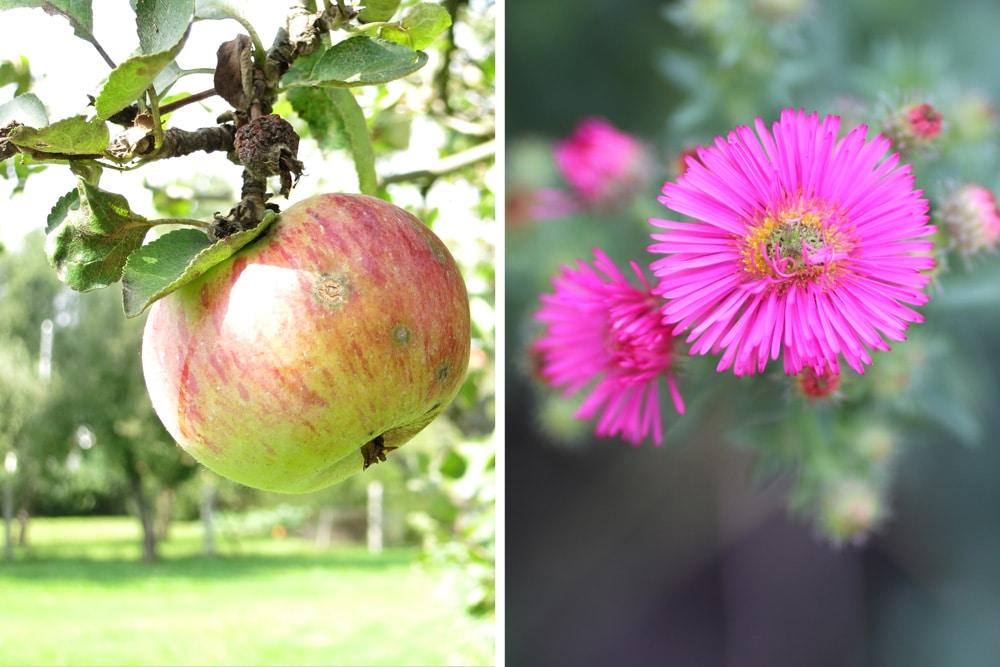 Apfel Aster Kaffeesatz Pflanzen