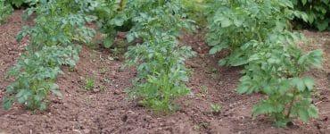 Kartoffeln Mischkultur