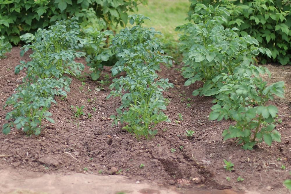 Kartoffeln anhäufeln
