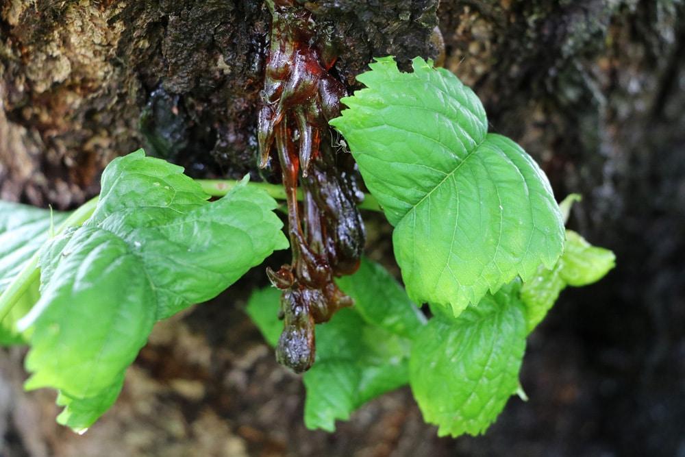 Kirschbaum-Krankheiten Gummifluss