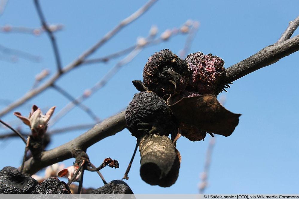Monila Fruchtfäule