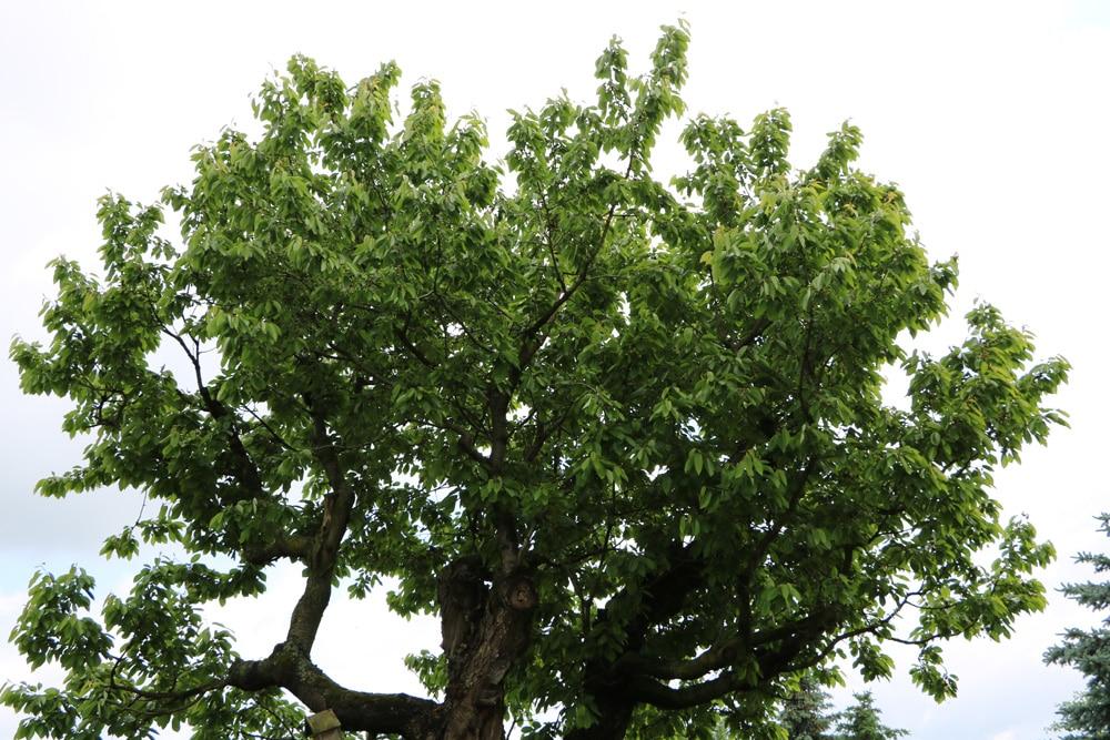 Prunus avium Kirschbaum