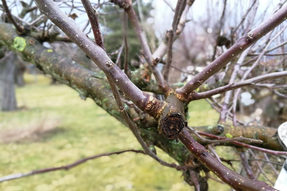 Wassertriebe am Obstbaum entfernen