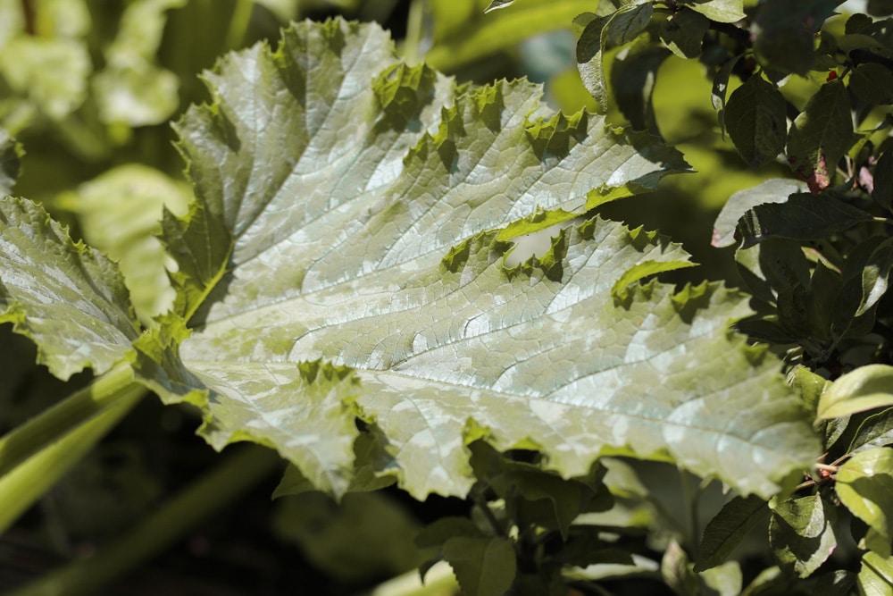 Zucchini gelbe Blätter