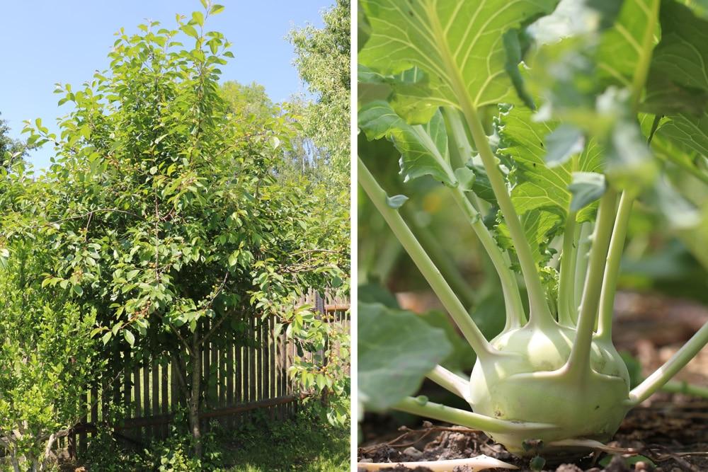 Mischkultur Kirschbaum Kohlrabi