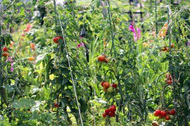 Tomaten und Blumen