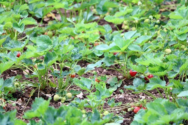Erdbeeren Feld