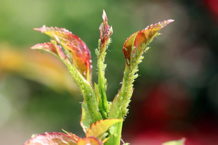 Essig Blattläuse