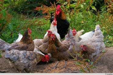 Hahn mit Hühnern