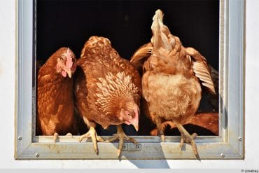 Hühner Stange