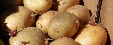 Kartoffel Ernte