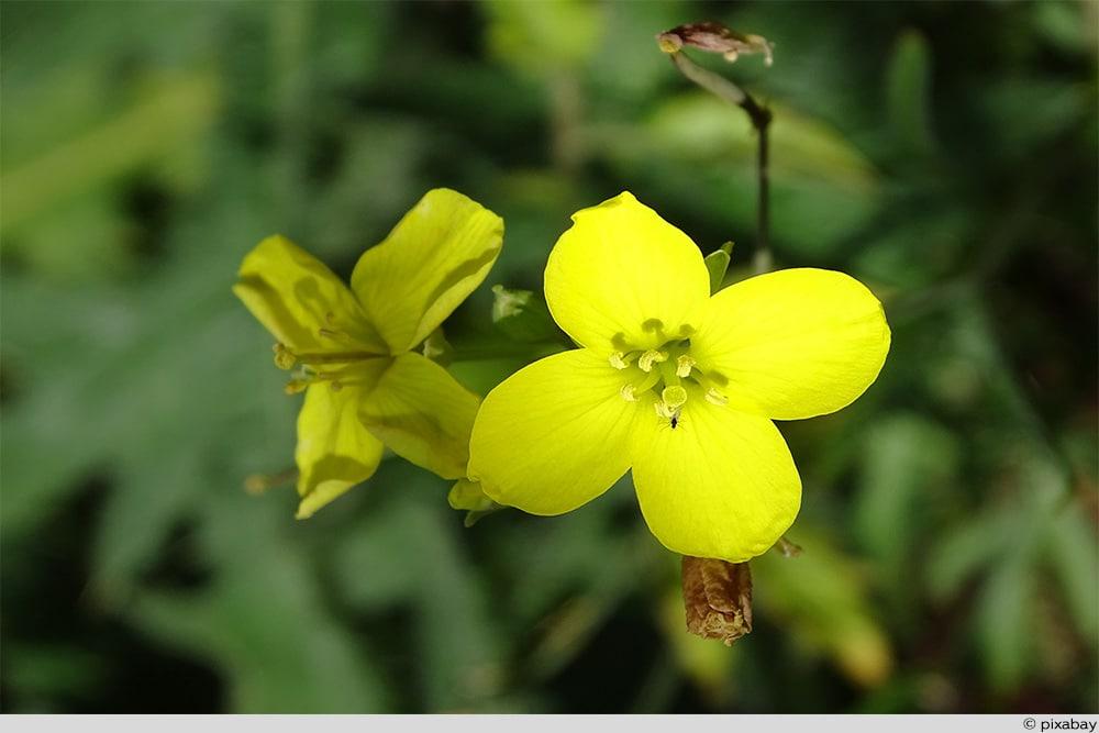 Rucola Blüte