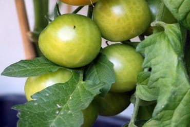 Tomate weiße Flecken