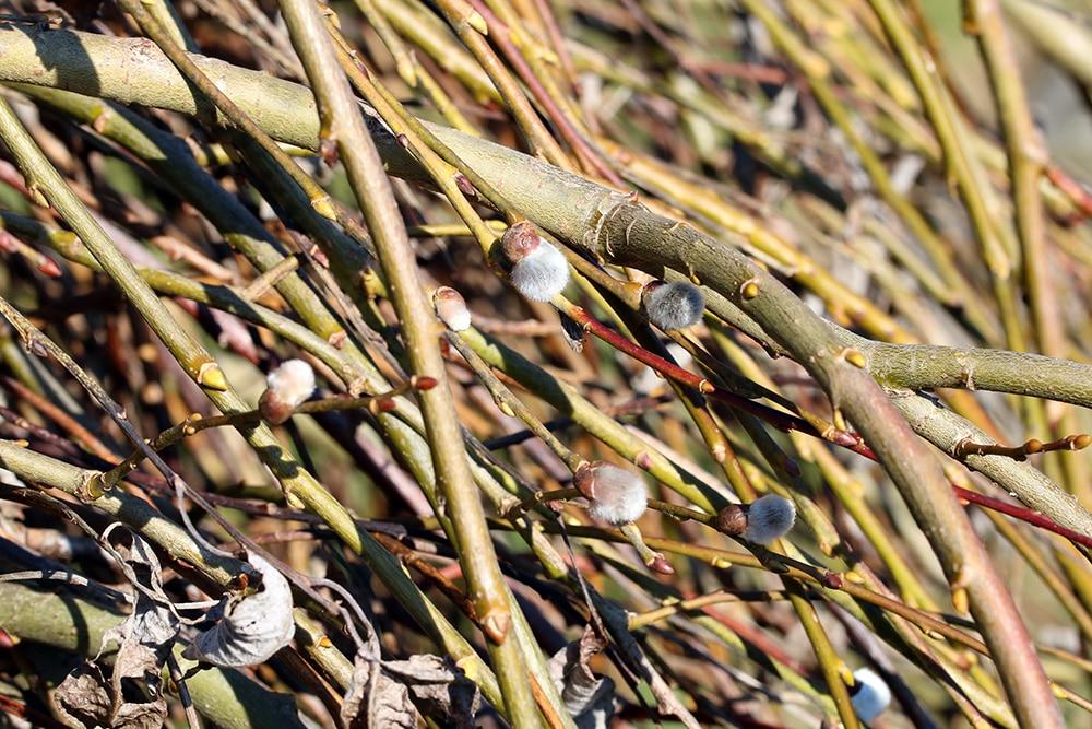 Weide Zweige