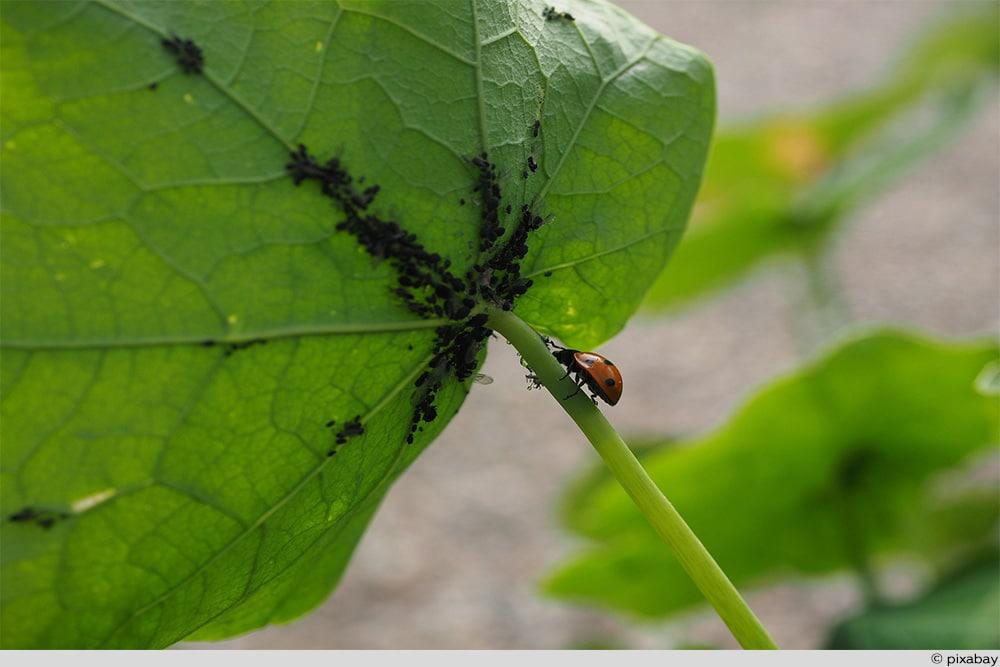 Blattläuse Marienkäfer