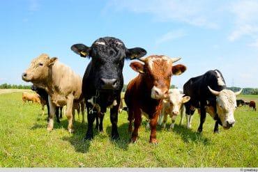 diverse Rinder