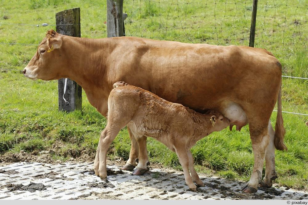 Limousin-Kuh
