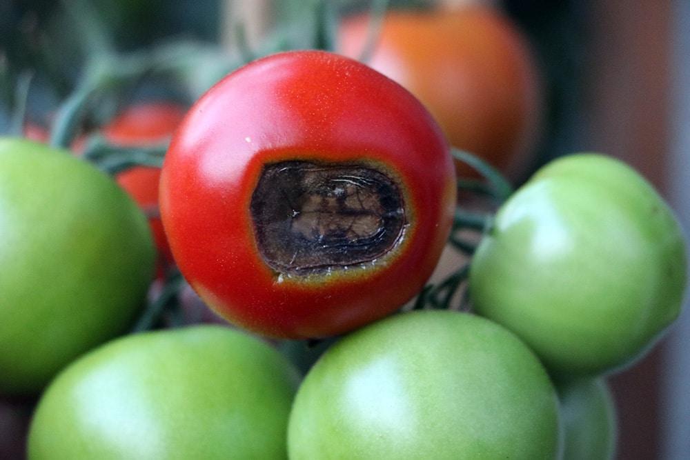 Tomate Blütenendfäule