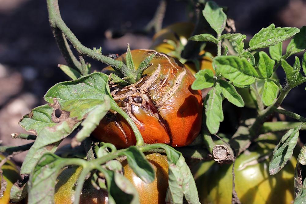 Tomate Braunfäule