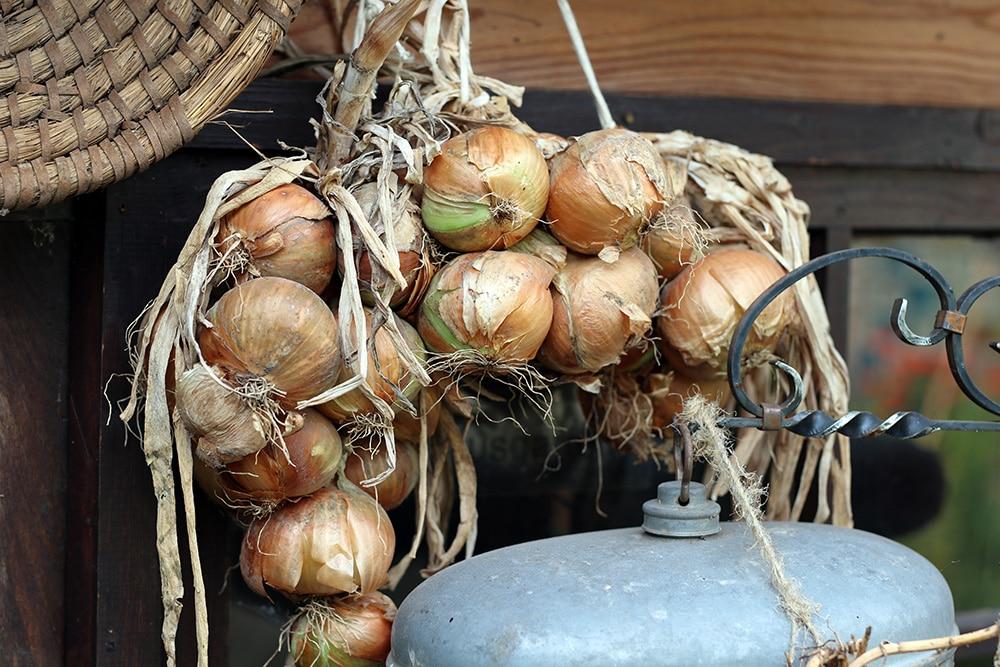 Zwiebeln gegen Blattläuse