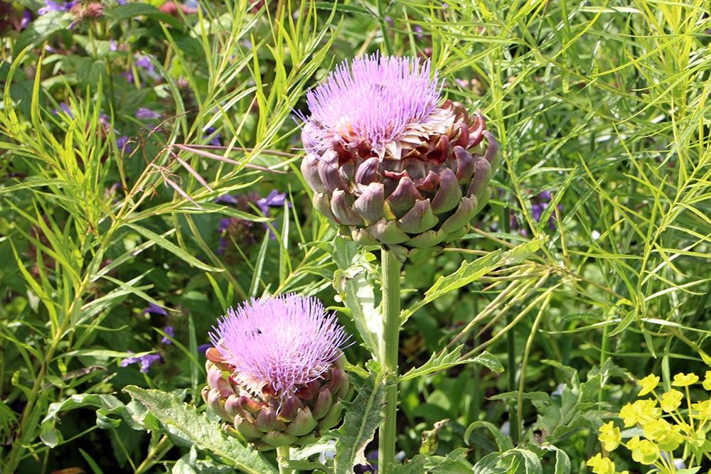 Artischocke Blüte