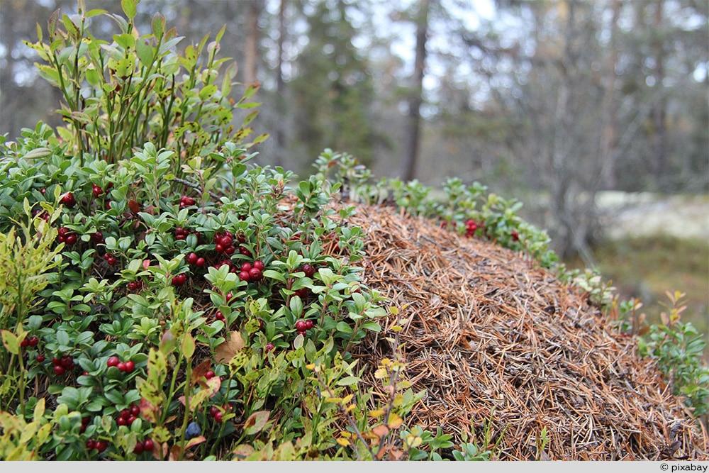 Cranberry Ameisenhaufen