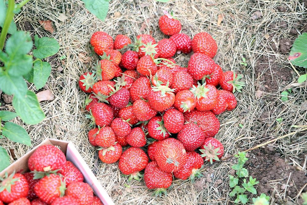 Erdbeeren Haufen