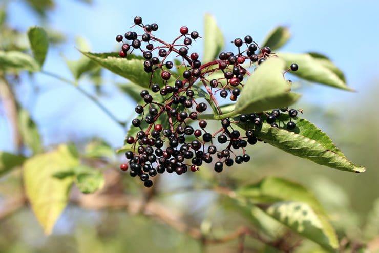 Holunder Beeren