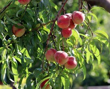 Pfirsich Früchte