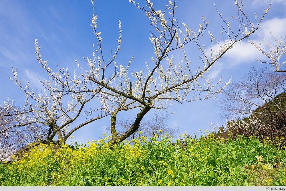 Pflaume Baum