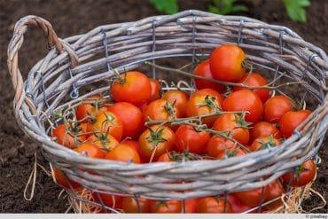 Tomaten Korb