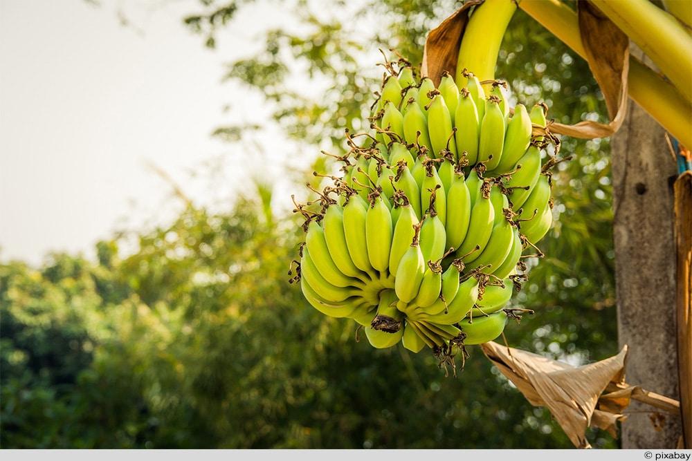 Banane Staude