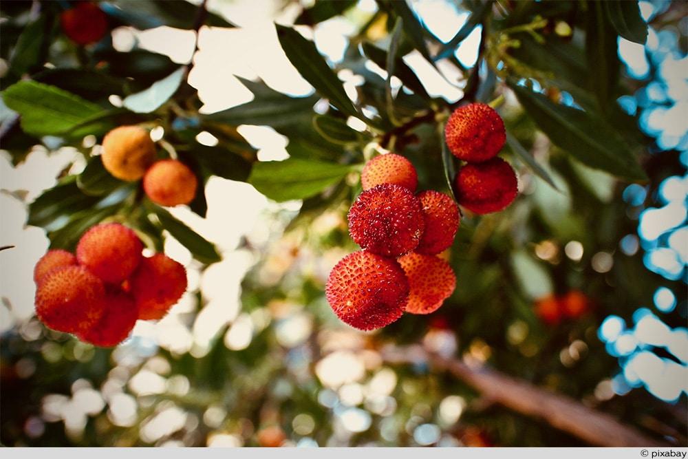Exoten Erdbeerbaum