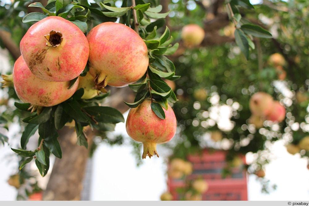 Granatapfel Baum