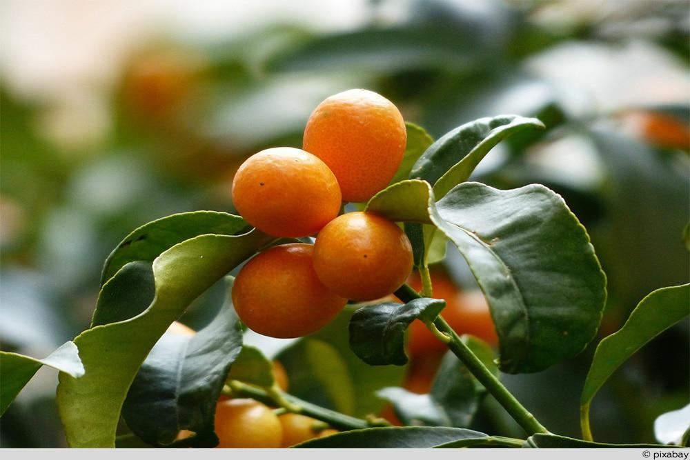 Kumquat Frucht