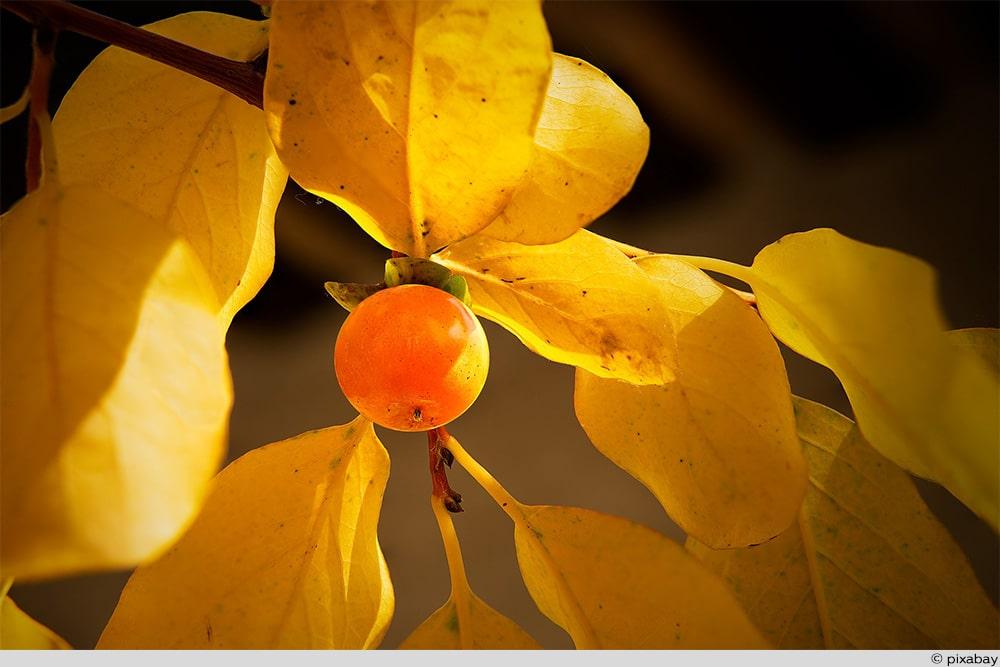 Lotuspflaume Frucht