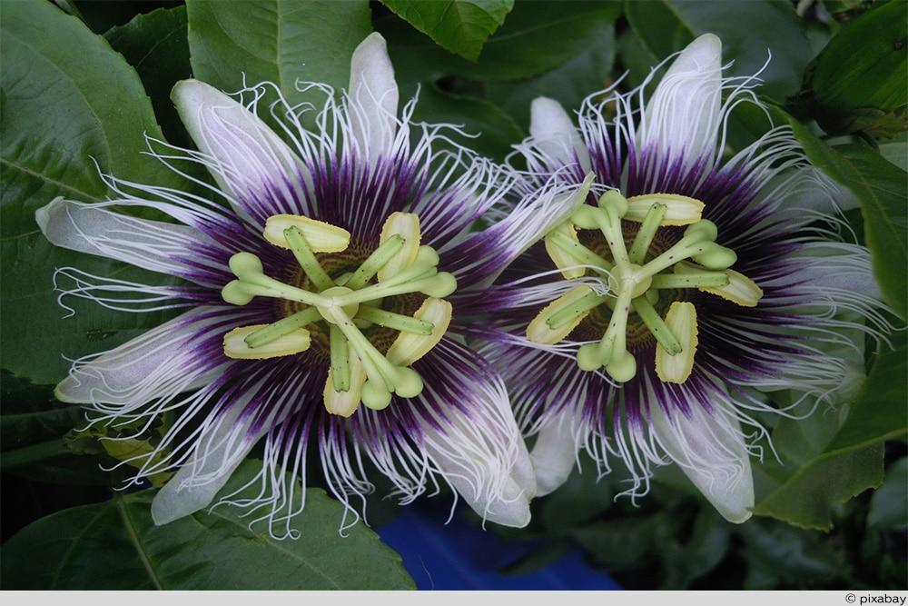 Maracuja Blüte