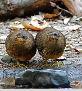 Rebhühner zwei