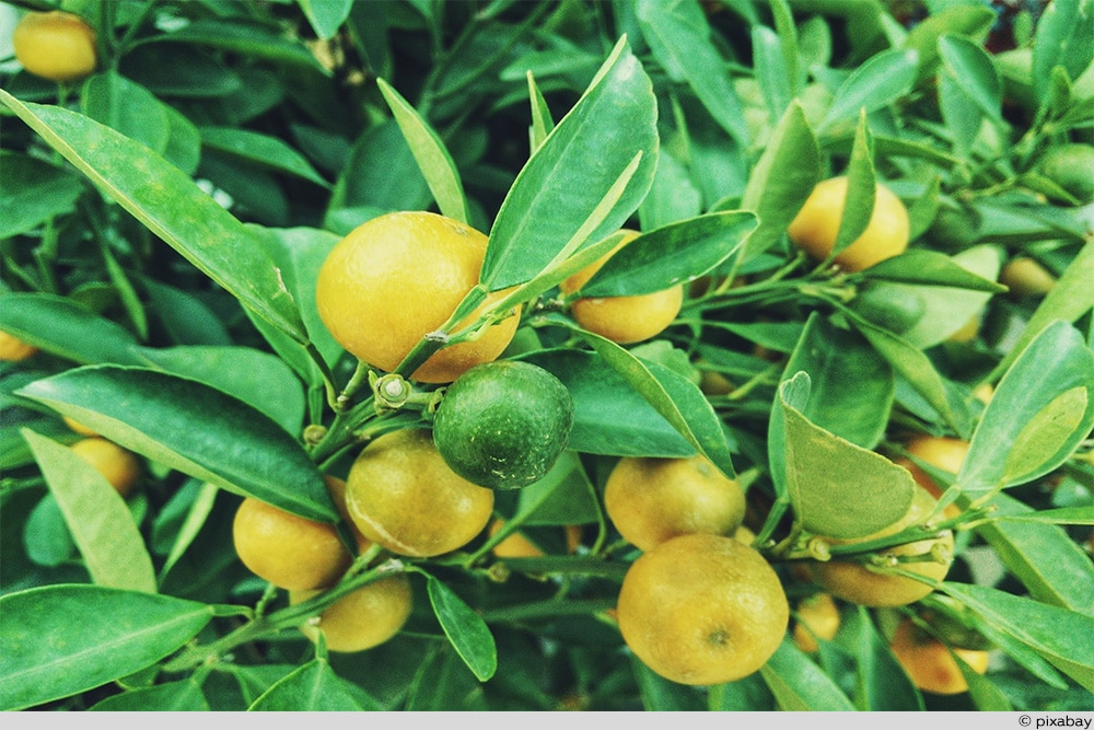 Zitrone Strauch