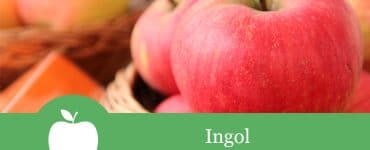Ingol