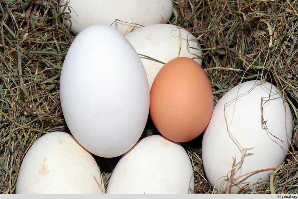 Gans Eier